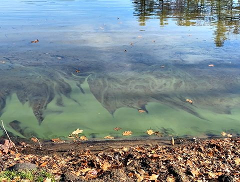 Harmful algal bloom was initially spotted Saturday on the east side of Assembly Point on Lake George. (Photo courtesy Lake George Association)