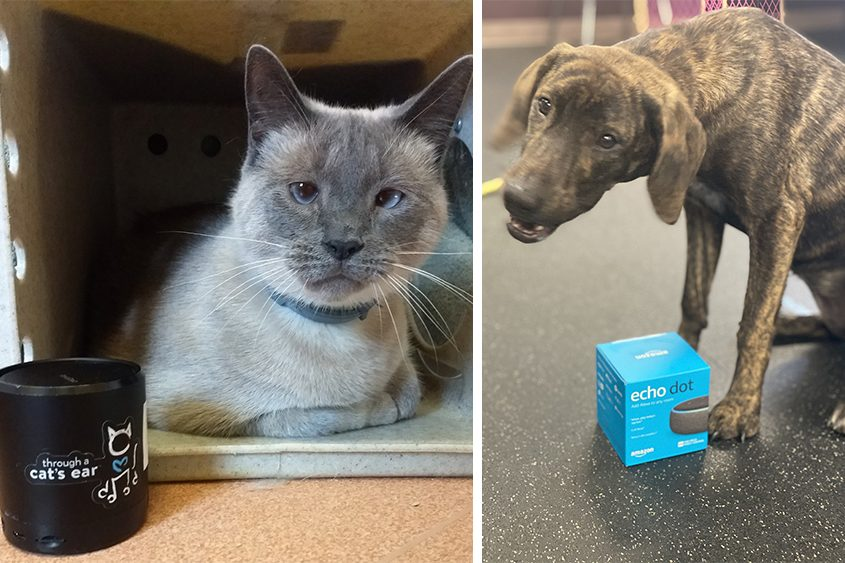 Charlie, a Siamese cat, chills out while listening to an iCalmCat device at the Saratoga County Animal Shelter in Ballston Spa. Right, Keira checks out a new Amazon Echo Dot device at the Animal Protective Foundation in Glenville. (photos provided)