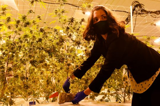 Kaitlyn Nedo shows off Marijuana plants growing under metal halide lights at the Vireo Health facility in Johnstown