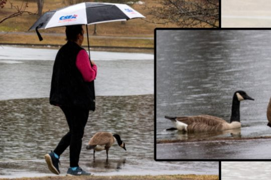 Joanna Ramos of Schenectady takes a rainy stroll around Iroquois Lake in Central Park Wednesday, passed some Canada Geese.