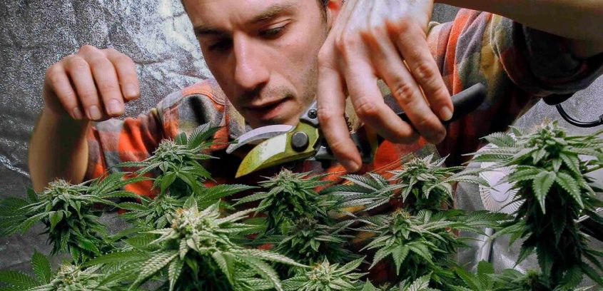 In this Dec. 13, 2017, file photo, James MacWilliams prunes a marijuana plant that he is growing indoors in Portland, Maine