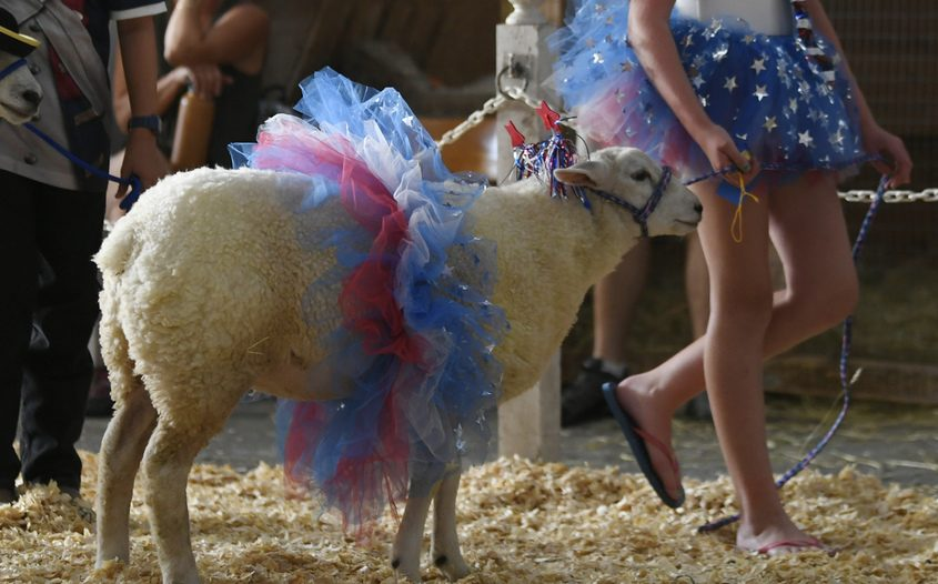 From the July 2019 edition of the Saratoga County Fair: Addelayde Ross, 11, of West Galway walks her sheep Cupcake from the show floor.
