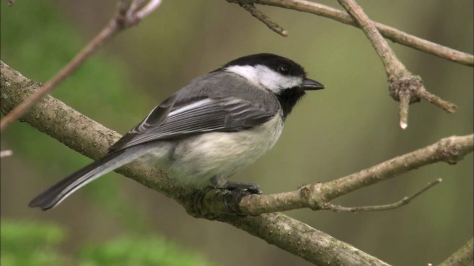 The black-capped chickadee (YouTube)