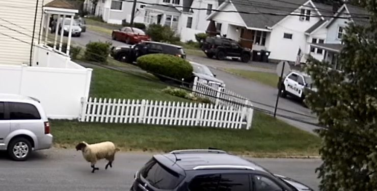 In a still from surveillance video provided by Rotterdam resident Paul Garrow, the sheep is seen being followed by a Schenectady police SUV