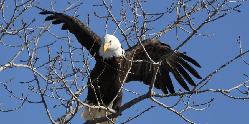 A bald eagle lands in a tree overlooking the Des Moines River in Des Moines, Iowa, in February 2020. (The Associated Press)