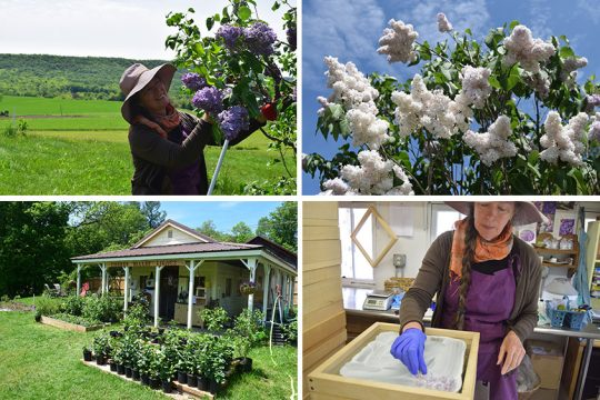 Clockwise from top left: Charle-Pan Dawson cuts some lilacs at Cherry Valley Lilacs; Leon Gambetta lilacs;Dawson inside the Enfleurage Studio (seen at lower left) at Cherry Valley Lilacs. (Indiana Nash photos)