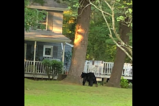 A bear spotted in Monday Ballston Lake. Provided by Breonna Holton
