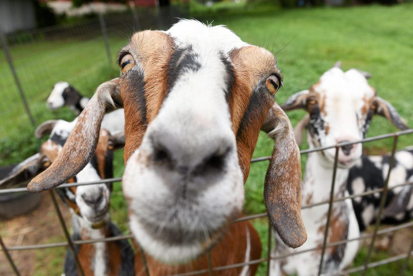 Goats are eager to be pet in their fenced-in area at Springer's Stables in Broadalbin on Friday, August 20, 2021.