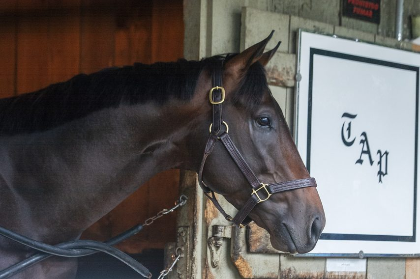 Life Is Good pokes his head out of his stall at Todd Pletcher's Saratoga Race Course barn on Sunday morning.