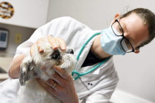 Veterinarian Dr. Genevieve Morse-Ozols demonstrates an exam on Molly, a Shih Tzu, at the VCA Animal Health Center on Route 9 in Halfmoon on Sept. 24, 2021.