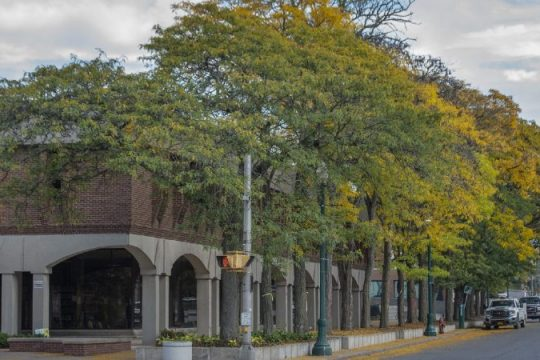 Honey locust trees planted in 1969 in front of the county library in downtown Schenectady are starting to compete for sunshine, soil and water. The city plans to remove eight trees and plant five new ones, to lessen the competition between trees.